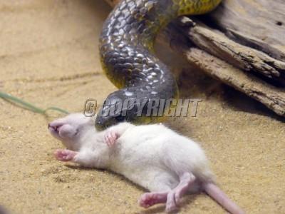 Snake beats Rat